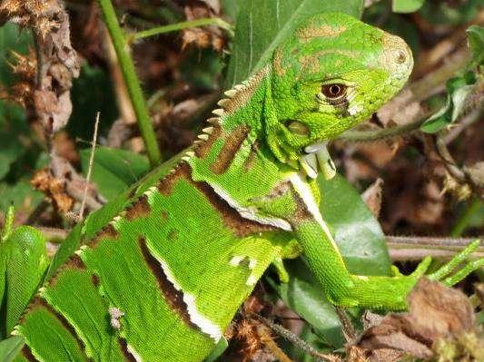 Iguana, popularmente chamado de camaleão