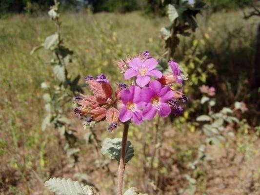 Flor de Frecheiro
