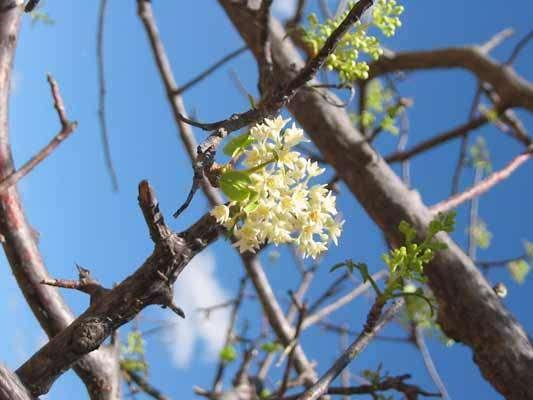 Umbuzeiro Flor