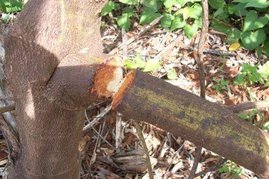 Galho cortado pelo Serrapau