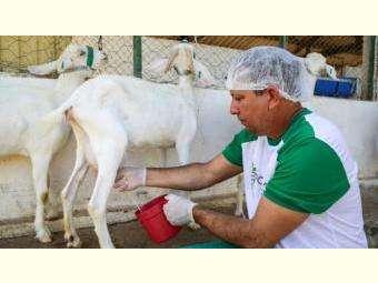 Produção e consumo de leite de cabra apresenta mais vantagens do que de vaca