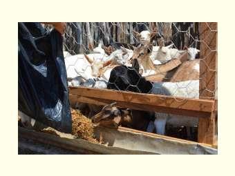 Caprinocultura gera resultados positivos com assessoria técnica