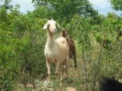 Convivência com a caatinga é destaque na IV Feira de Caprinos e Ovinos de Massaroca