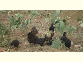 Valorização da galinha de capoeira apresenta resultados significativos