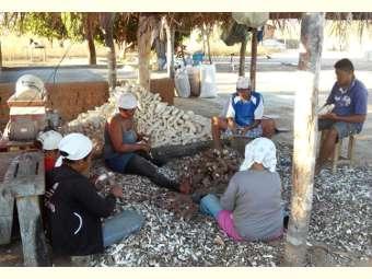 Após 04 anos, as farinhadas começam a ser retomadas em Campo Alegre de Lourdes (BA)