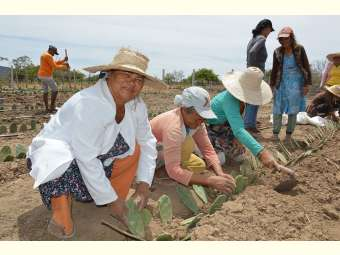 Plantio agroecológico de forragens anima agricultores e agricultoras de Campo Formoso