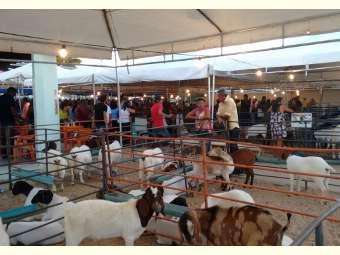 Macucuré realiza a II Feira de caprinos e ovinos do município