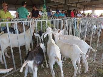 Distrito de Abóbora, em Juazeiro, sedia 1ª edição da Feira de Caprinos e Ovinos