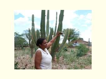 Agricultora germina semente de mandacaru e aumenta produção de forragem no quintal de casa