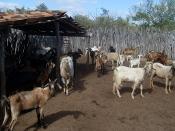 Juazeiro e Sobradinho realizam feira de caprinos e ovinos neste final de semana