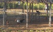 Comunidades do sertão da Bahia vão ter Projetos de Criação de galinhas e Mini-Fábrica de ração