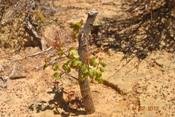 Mesmo com a Seca, plantas nativas brotam em área de Recaatingamento